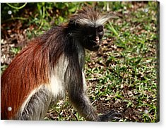 Colobus Monkey Acrylic Print by Aidan Moran