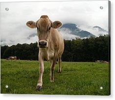 Cow In Switzerland Acrylic Print by Gynt
