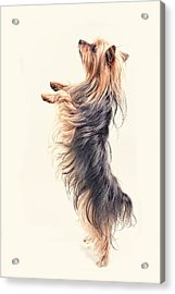 Dancing Yorkshire Terrier Acrylic Print
