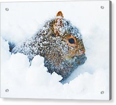 Deep Snow Squirrel Acrylic Print by Judy Via-Wolff