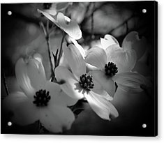 Dogwood Blossoms-bk-wh-v Acrylic Print by Eva Thomas