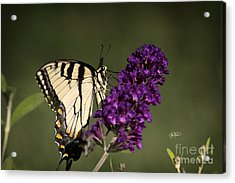 Eastern Tiger Swallowtail Series Acrylic Print by Cris Hayes