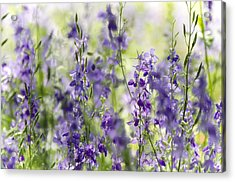 Fields Of Lavender  Acrylic Print by Saija  Lehtonen