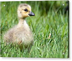 Gosling Acrylic Print by Optical Playground By MP Ray
