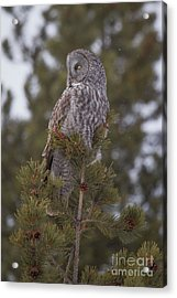 Acrylic Print featuring the photograph  Great Gray Owl 1 by Katie LaSalle-Lowery