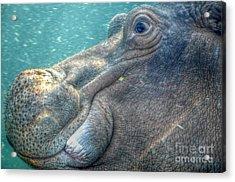 Hippopotamus Smiling Underwater  Acrylic Print