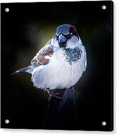 House Sparrow  Acrylic Print by Kenneth Cole