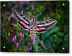 Hummingbird Moth Print Acrylic Print by Doug Long