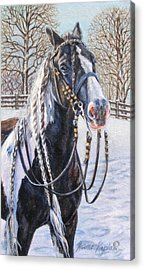 I'm Ready For The Ribbons Gypsy Vanner Horse Acrylic Print