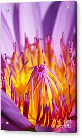 Just Purple Acrylic Print