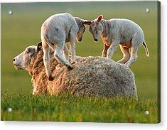 Leap Sheeping Lambs Acrylic Print