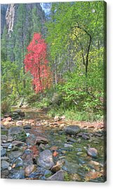 Lone Maple Fall Creek Acrylic Print