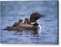 Loon Carrying Chicks 44 Acrylic Print