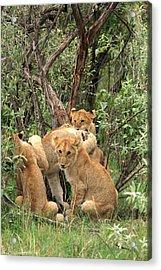 Masai Mara Lion Cubs Acrylic Print