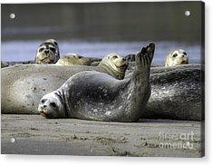 Nestucca Bay Harbor Seals Acrylic Print