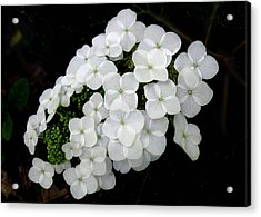 Acrylic Print featuring the photograph  Oak Leaf Hydrangea by William Tanneberger