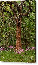 Oak Tree And Dame's Rocket Acrylic Print by Randy Pollard
