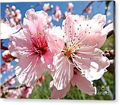 Peach Blossom Acrylic Print by Clare Bevan