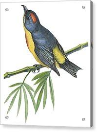 Philippine Flowerpecker Acrylic Print