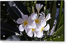 Plumeria  Acrylic Print by Gornganogphatchara Kalapun