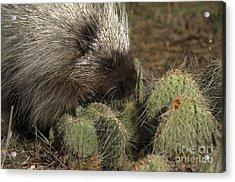 Porcupine-animals-image-1 Acrylic Print