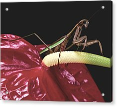 Praying Mantis  Walking On An Anthurium Flower  Acrylic Print by Leslie Crotty