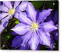 Pretty Purple Clematis Acrylic Print by Mindy Bench