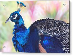 Prime Peacock Acrylic Print by DerekTXFactor Creative