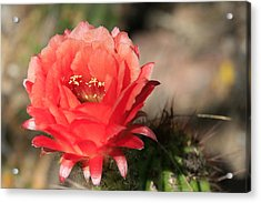 Red  Cacti Flower Acrylic Print