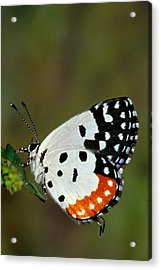 Red Pierrot Butterfly Acrylic Print by Anonymous
