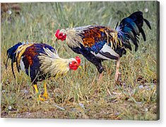 Rural Roosters Acrylic Print