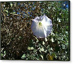 Acrylic Print featuring the photograph  Sacred Datura by Angela J Wright