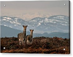 Sika Deer Acrylic Print