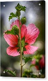 Through Rose Of Sharon Hdr Acrylic Print
