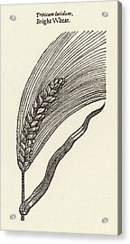 Triticum Lucidum  Bright Wheat Acrylic Print by Mary Evans Picture Library