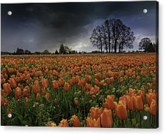 Tulip Festival Acrylic Print by Jean-Jacques Thebault