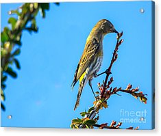 Yellow-rumped Warbler Acrylic Print by Robert Bales