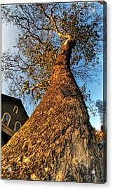 001 Oldest Tree Believed To Be Here In The Q.c. Series Acrylic Print by Michael Frank Jr