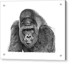 Acrylic Print featuring the drawing 042 - Gomer The Silverback Gorilla by Abbey Noelle