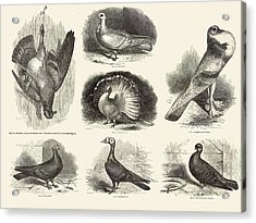 1868 Darwin Pigeon Breeds Illustration Acrylic Print by Paul D Stewart
