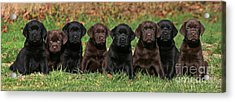 8 Labrador Retriever Puppies Brown And Black Side By Side Acrylic Print by Dog Photos