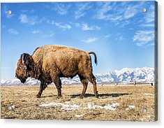 A Bison In The 24,700-acre National Elk Acrylic Print
