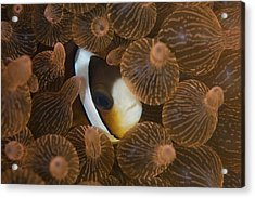 A Clarks Anemonefish Nuggles Acrylic Print