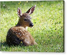 A Fawn On The Lawn Acrylic Print