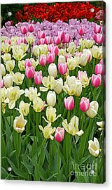 A Field Of Tulips Acrylic Print by Eva Kaufman