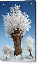 A Frosted Willow On A Very Cold And Bright Winter Day Acrylic Print