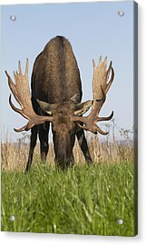 A Large Bull Moose Feeds Near Point Acrylic Print by Doug Lindstrand