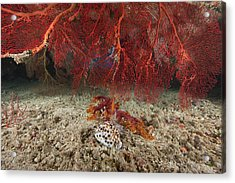 A Large Red Gorgonian Sea Fan And Tiger Acrylic Print
