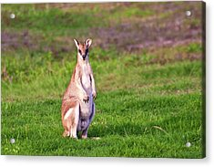 A Male Grey Kangaroos (macropus Acrylic Print by Miva Stock