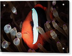A Red And Black Anemonefish Swims Among Acrylic Print